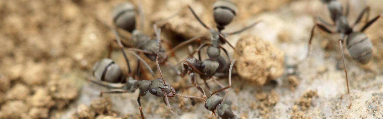 allgäuer-kammerjäger-ameisen