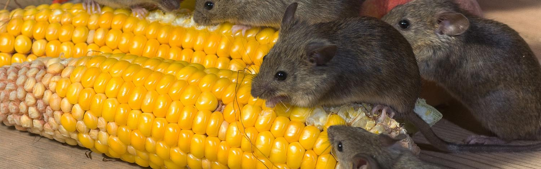 kammerjäger-mäuse